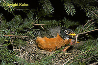 RO02-013z   American Robin - adult sitting on young in nest for protection - Turdus migratorius