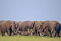 African Elephants.African Elephants--cow/calf herd.African Elephants--cow/calf herd--feeding in wetlands along lake shore.  Africa.