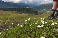 Mountain aven wildflowers on the tundra of rainbow ridge, Alaska Range mountains.