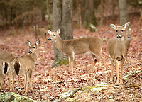 A group of white-tailed deer walk Thursday, Feb. 11, 2021, through woods in search of food in Greenland. Extremely low temperatures and wintry precipitation are expected to continue throughout the weekend and into next week. Visit nwaonline.com/210212Daily/ for today's photo gallery. <br /> (NWA Democrat-Gazette/Andy Shupe)
