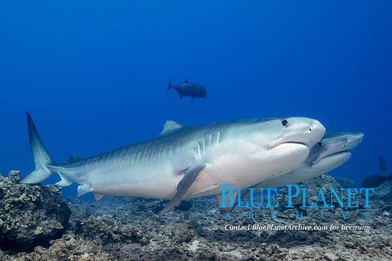 tiger sharks, Galeocerdo cuvier, Honokohau, Kona Coast, Big Island, Hawaii, USA, Pacific Ocean