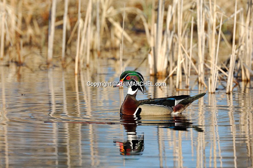 00360-097.05 Wood Duck drake on the water of cattail marsh.  Waterfowl, wetland, swamp, color.
