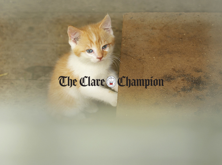 """A younger resident at the """"An Cat Dubh Sanctuary"""" at Clounlaheen, near the Hand. Photograph by John Kelly."""