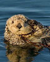 Southern Sea Otter (Enhydra lutris) resting while tied up with kelp necklace.  Central California Coast. Tying up in kelp while resting helps keep the sea otter from drifting off with the tide.