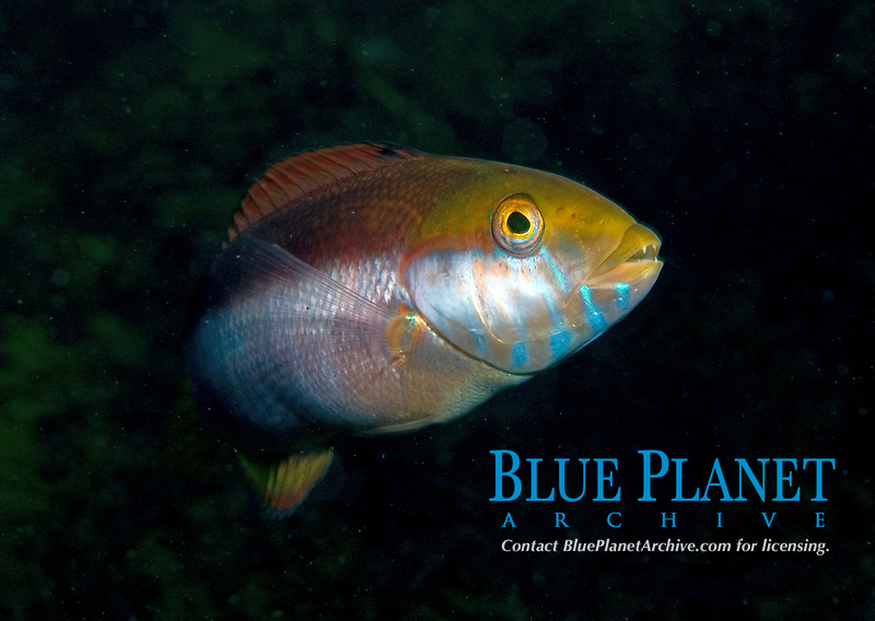Maori Wrasse, Ophthalmolepsis lineolata, A male of this species as the males get bright blue lines and scribbles on the head, Esperance, Western Australia, Australia, Southern Ocean