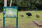 The Southern Cassowary male with his chicks - possibly a year old crossing a cassowary interpretive signage. The Southern Cassowary, also known as the Double-wattled Cassowary (family Casuariidae), is native to the tropical forests of New Guinea, nearby islands and north eastern Australia. The name cassowary comes from the Malay name kesuari. The cassowary is the largest avian frugivore in the world. Cassowaries are striking in appearance, with a tall brown casque (helmet) on top of their head, a vibrant blue and purple neck, red wattles and glossy black plumage. The purpose of the casque is unknown and hypotheses include that it indicates dominance, protects the bird's head when running through the forests, or aids cassowaries in hearing the low vibrating sounds made by other cassowaries. They possess small vestigial 'wings' with 5-6 bare quills and a long claw at the tip of the wing.<br /> Southern cassowaries can grow to a height of 2 metres, with males weighing up to 55kg and females up to 76kg. Each leg has three claws, with the medial claw reaching up to 120mm in length! Cassowary chicks differ in appearance, with a striped brown and cream pattern. After 3-6 months, the stripes fade to the brown sub-adult plumage.  This is retained until 12-18 months of age after which the bird begins to take on adult characteristics. Maturity is reached at 3.5 years of age for females and 2.5 years for males.
