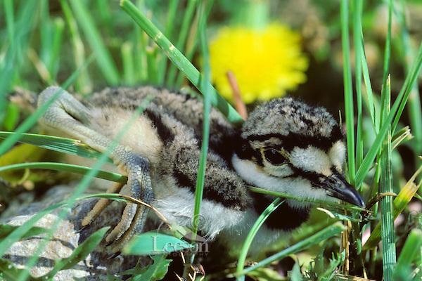 Killdeer chick hiding in grass, Pacific N.W., June.
