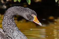 Black Swan in Tenikwa Wildlife Rehabilitation Centre, Plettenberg Bay, South Africa.