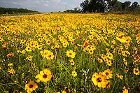 In this image, we find a stunning field of vibrant Yellow Daisy Coreopsis, scenic landscape, Horseshoe Bay, Texas - Stock Image