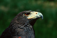 Profile portrait of a Harris hawk (Parabuteo unicinctus).