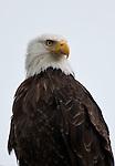 Montana Wildlife - eagles