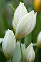 Tulip (Tulipa biflora syn. Tulipa polychroma), glasshouse, early March.