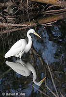 0111-0926  Great Egret Wading in Water Hunting for Prey, Ardea alba  © David Kuhn/Dwight Kuhn Photography