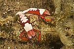Imperator commensal shrimp (Periclimenes imperator)