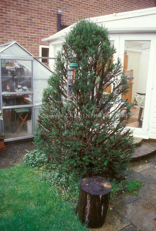 Pruned Evergreen Yew recovers. See first image, then third image fully recovered