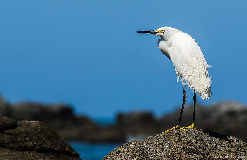 Fine Art Photograph of a Snowy Egret captured in Sayulita Nayarit Mexico. This Egret was by the ocean looking for fish to catch.