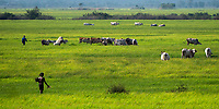 Rural area with cattle, scenery near Battambang, Cambodia