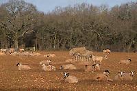29-1-2021 Ewes on grazed off fodder crop<br /> ©Tim Scrivener Photographer 07850 303986<br />      ....Covering Agriculture In The UK....