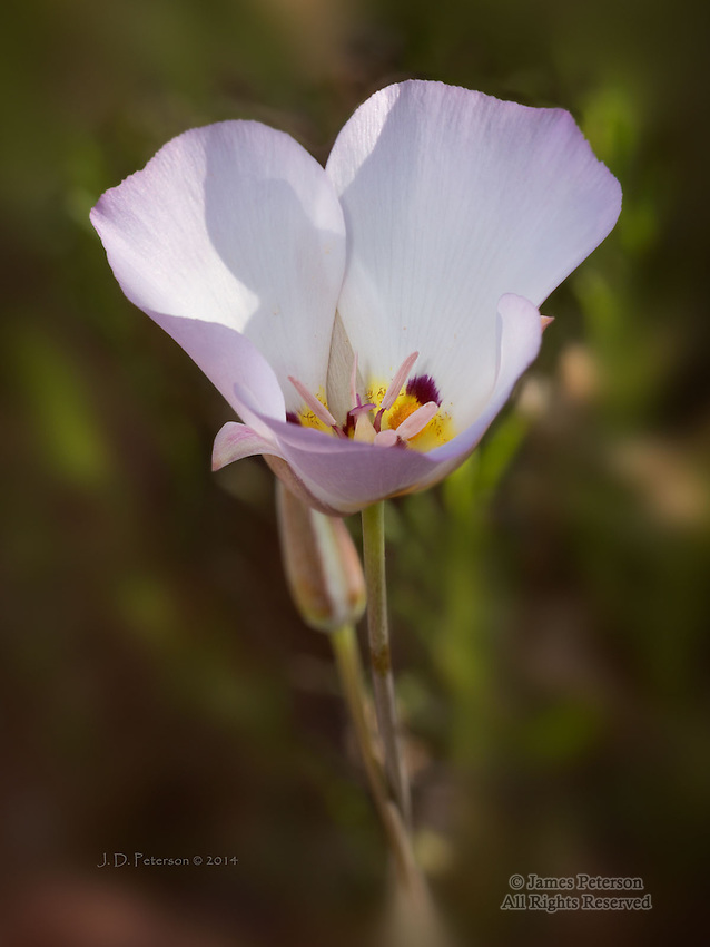 Mariposa Lily near Woods Canyon Trail