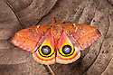 Bullseye Moth {Automeris io} showing eye spot markings on wings during deimatic display to deter predators. Captive, originating from North and Central America. Sequence 2 of 2. website