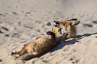 red fox in the sand dunes of Cape Cod, Massachusetts