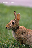 MA24-039z  Cottontail Rabbit  - Sylvilagus floridanus