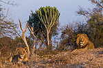 African Lion (Panthera leo) six year old male and eight year old female near Candelabra Tree (Euphorbia ingens), Kafue National Park, Zambia