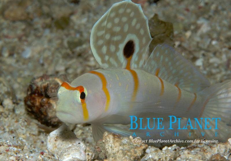 Sail-fin Shrimp goby, Amblyeleotris randalli, Mindoro, Philippines, West Pacific Ocean