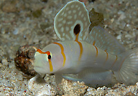 Sail-fin Shrimp goby, Amblyeleotris randalli, Mindoro, Philippines, West Pacific Ocean