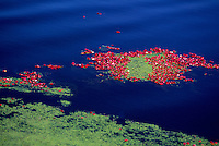 Richmond, BC, British Columbia, Canada - Cranberries (Vaccinium macrocarpon) floating in Flooded Bog Field at Harvest Time, on Cranberry Farm