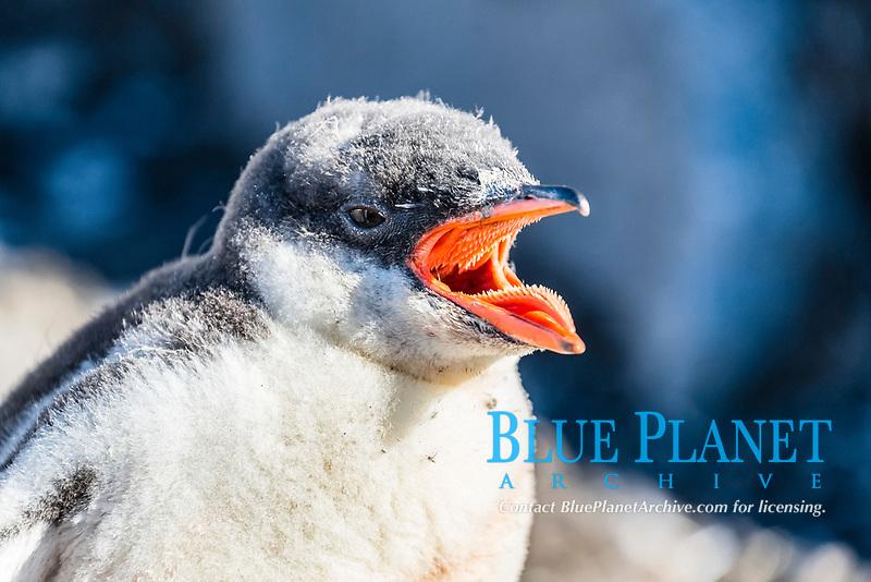 gentoo penguin chick, Pygoscelis papua, Jougla Point, Wiencke Island, Antarctica, Southern Ocean