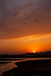 Sandhill cranes fly into roost at the Platte River in Nebraska.