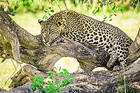 Sri Lankan leopard (Panthera pardus kotiya) resting on the branch of a tree. Yala National Park, Southern Province, Sri Lanka.