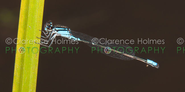 Skimming Bluet (Enallagma geminatum) Damselfly - Male, Promised Land State Park, Greentown, Pike County, Pennsylvania