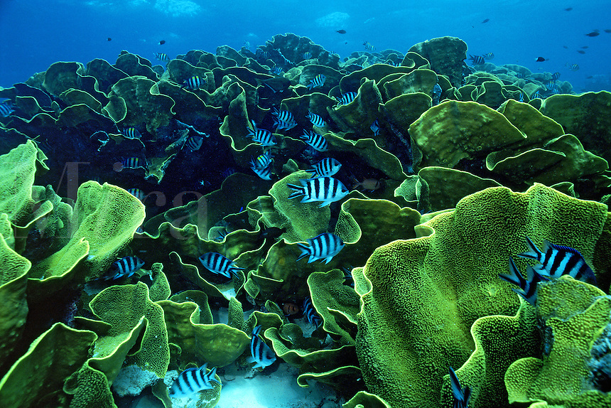 Plate coral, Turbinaria reniformis, can form large flat plates, covering  extensive areas, such as reef tops and slopes, Fiji, Indo-Pacific
