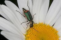 Grüner Zipfelkäfer, Zipfel-Käfer, Blütenbesuch auf Margarite, Cordylepherus viridis, Malachius viridis, Malachiidae, Warzenkäfer, Zierkäfer, malachiid beetles, flower beetles