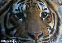 0328-1010  Malayan Tiger, Panthera tigris malayensis  © David Kuhn/Dwight Kuhn Photography.