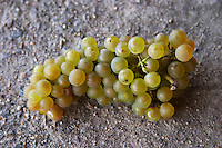 Harvested grapes, chenin blanc. Chateau de Passavant, Anjou, Loire, France