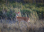 Spotted whitetail fawn in tall grass