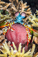 Peacock mantis shrimp, Odontodactylus scyllarus, with eggs, Anilao, Batangas, Philippines, Pacific