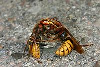 Hornisse, Hornissen, Paarung, Kopula, Kopulation, Vespa crabro, hornet, hornets, brown hornet, European hornet, pairing, Le frelon européen