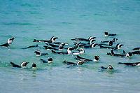 African or jackass penguins, Spheniscus demersus, swimming off Gansbaai, South Africa