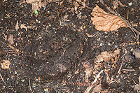 Rothirsch, Rotwild, Rot-Hirsch, Rot-Wild, Trittsiegel, Fußspur, Cervus elaphus, Red Deer, Cerf élaphe