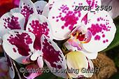 Gisela, FLOWERS, BLUMEN, FLORES, photos+++++,DTGK2550,#f#, EVERYDAY ,orchids