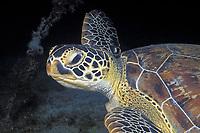 green sea turtle, Chelonia mydas, foraging at night off Saba