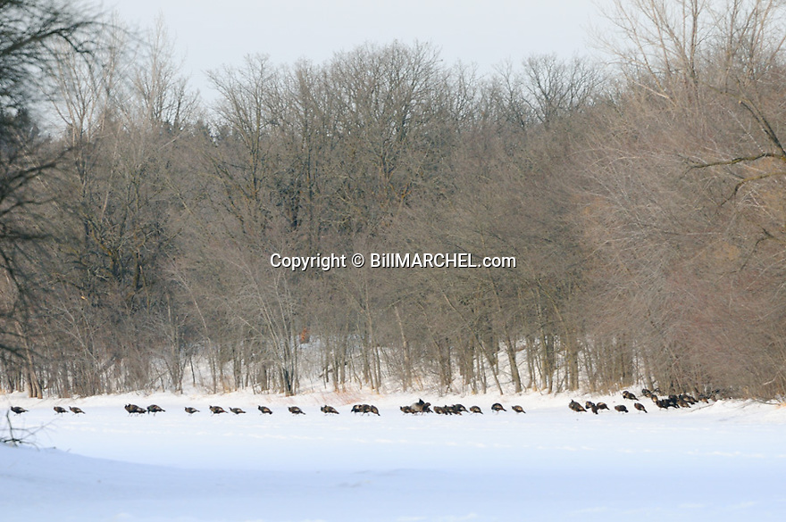 01225-10511  Wild Turkey flock is on the ice of a river during winter.  Cold, survive.