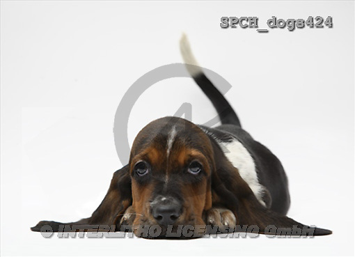 Xavier, ANIMALS, dogs, photos(SPCHdogs424,#A#) Hunde, perros