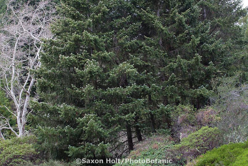 Grove of bristlecone fir or Santa Lucia fir (Abies bracteata), California native trees in Regional Parks Botanic Garden