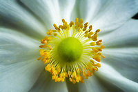 Close up of white anemone flower.