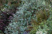 Acca sellowiana (Feijoa, Pineapple Guava), silver foliage shrub in Shelagh Tucker summer-dry garden, Seattle, Washington